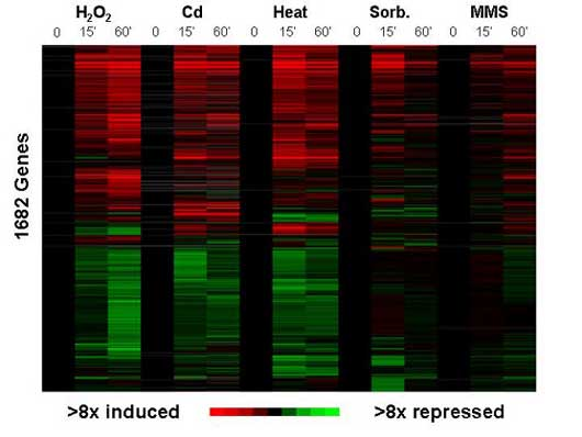 Microarray data showing the core envionmental stress response in fission yeast