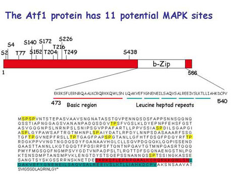 Structure of ATF1