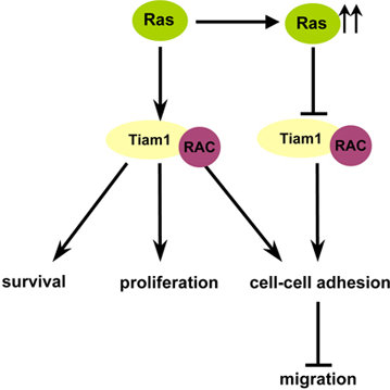 Interactions of Ras and Rac pathways figure